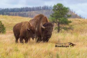 Blackhills Bison