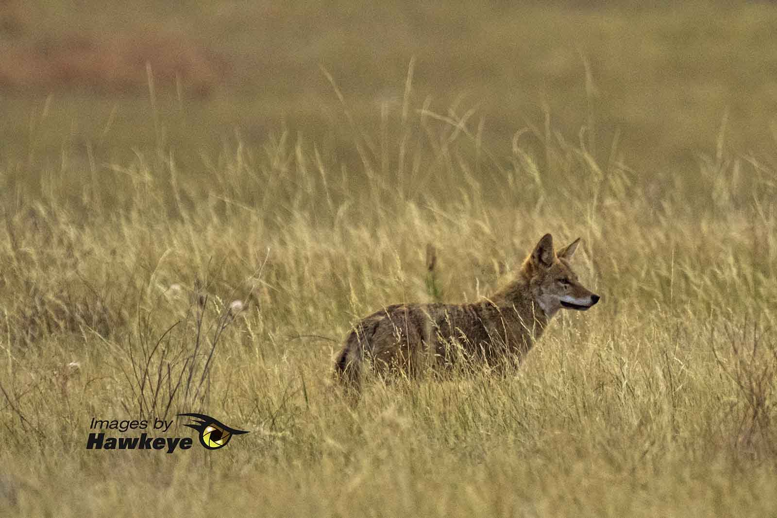 Fox in the grassland.
